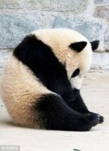 Sad-Panda-Meme-24