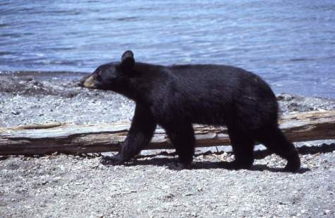 Black bear walking near lake